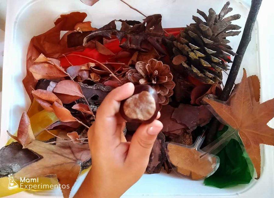 castaña en la caja sensorial de otoño