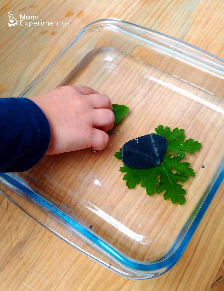 Colocando hojas en recipiente  con agua como respiran las hojas