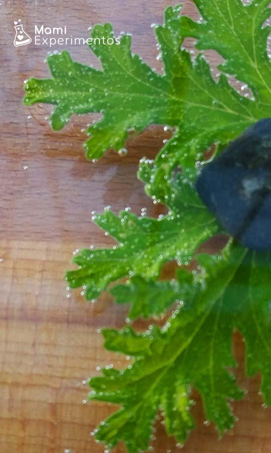 Hoja citronela respirando como respiran las hojas