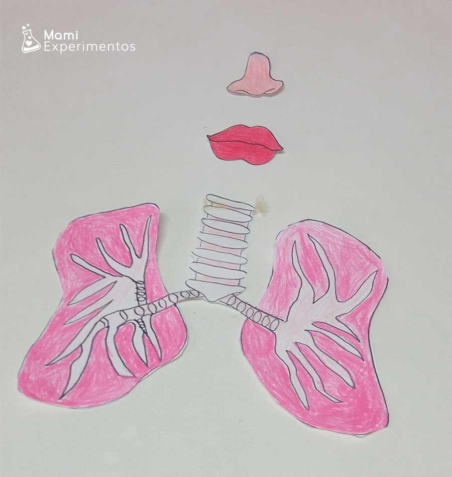 Maqueta recortada de pulmones nariz y boca preparada para su funcionamiento