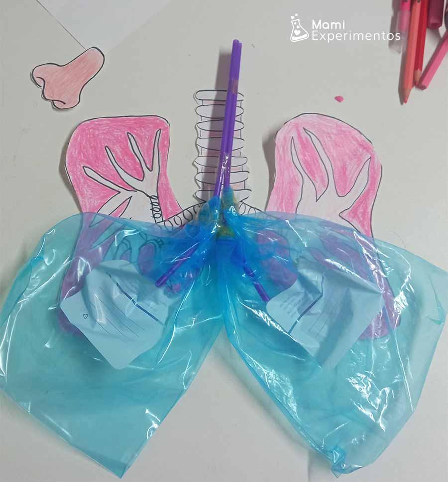 Montando maqueta de los pulmones para aprender como respiramos