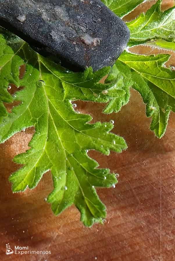 Primeras pompitas en las hojas experimento como respiran